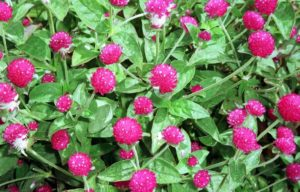 amaranth-the-next-superfood