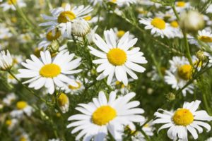 chamomile-herb-for-beautiful-skin-anti-aging