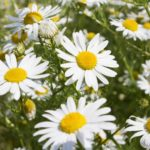 chamomile-herb-for-beautiful-skin